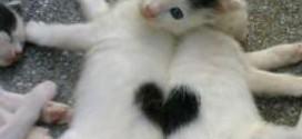 Deux chatons dont le pelage forme un coeur : trop chou !