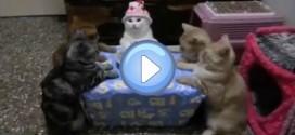 Les chatons qui fêtent un anniversaire