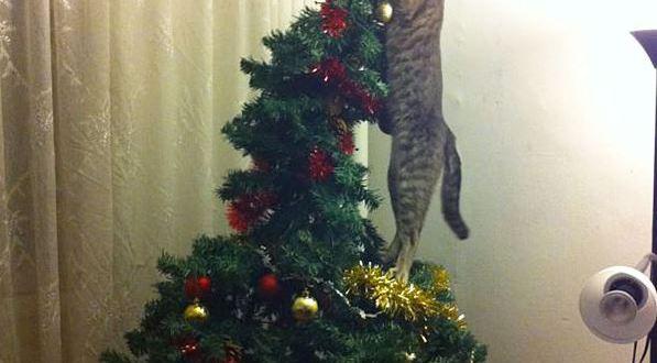 Le chat qui n'aime pas le sapin choisi par sa famille !