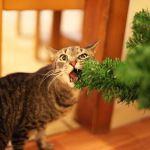 Le chat qui adore manger du sapin