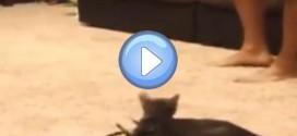 Le chat très effrayé par une araignée !