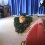 Le chat qui s'est couché sur le sapin