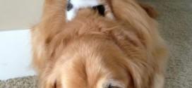 Un chaton couché sur un chien