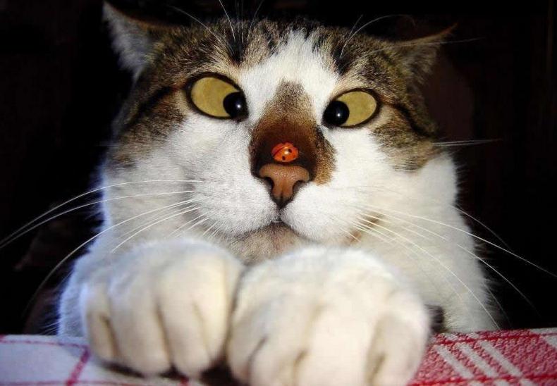 un chat louche à cause de la coccinelle sur son nez