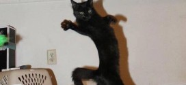 Chat danseur