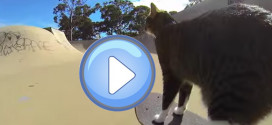Un chat skater !