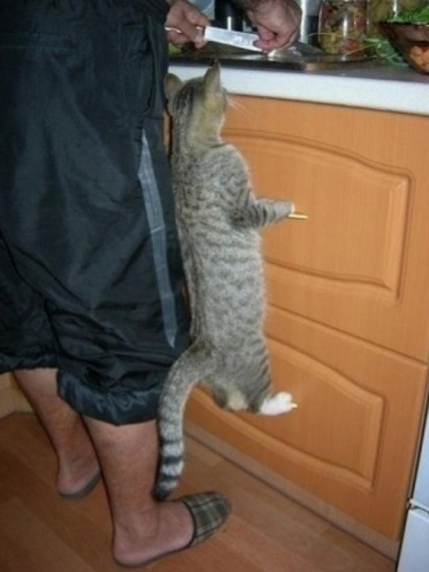 un chat en équilibre sur les poignées d'un meuble de cuisine