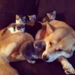 Un portée de chatons sur un chien