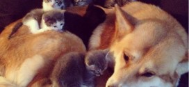 Une portée de chatons allongée sur un chien