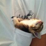 un chaton fait sa sieste dans une poche