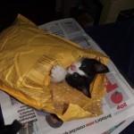 un chaton dans une enveloppe
