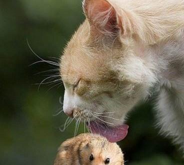 Un chat qui lèche un hamster